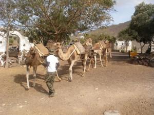 tenerife-theme-parks-camel-park-3